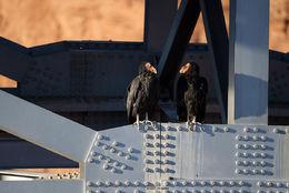 california condor, colorado river