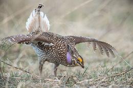 sharp-tailed grouse, lek