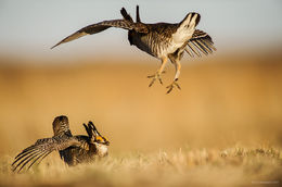 Greater Prairie ChickenFighting Males