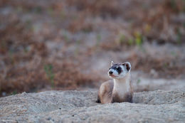 black-footed ferret, prairie dog
