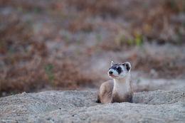 black-footed ferret, prairie dog