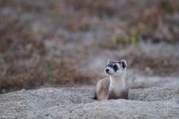 black footed ferret, endangered