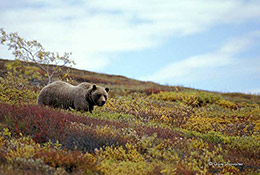 grizzly bear, Denali National Park