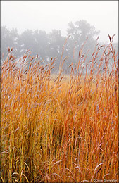 big bluestem, fog