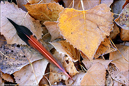 Flicker Feather and Cottonwood Leaves