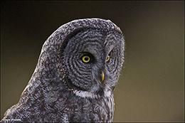 owl, jackson hole