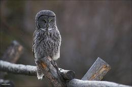 great gray owl, jackson hole