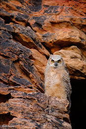 comanche national grassland, great horned owl, nest