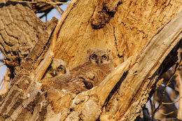 owlet, great horned owl