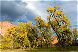 autumn cottonwood, Garden of the Gods