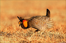 greater prairie chicken, yuma county colorado, wray