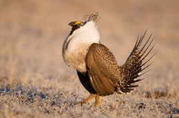 Greater sage grouse, Upper Green River Basin, Wyoming, lek
