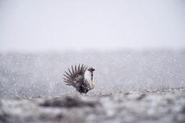 greater sage grouse, endangered species act