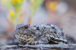 shirley basin, greater short-horned lizard