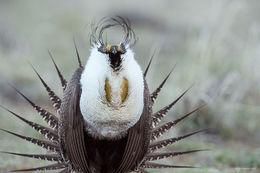 Greater Sage-grouse, lek