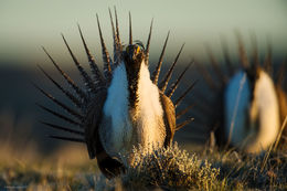 greater sage grouse, sagebrush