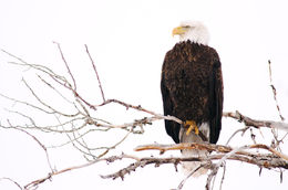 Grand Teton National Park, Wyoming, bald eagle, raptors