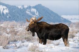 bull moose, Antelope Flats, Blacktail Butte, Gran Teton National Park, Wyoming