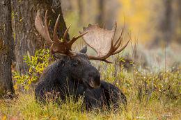 Grand Teton, bull moose
