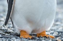 Gentoo Feet