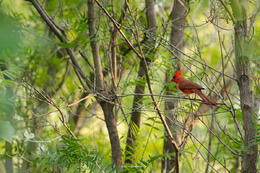 northern cardinal, mating season