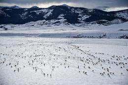 elk, gravelly range