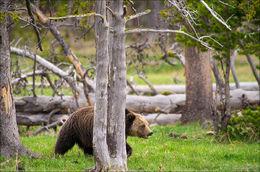 grizzly bear, gibbon meadows