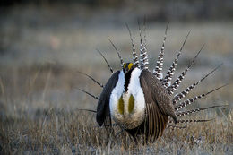 gunnison sage grouse, endangered