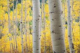 aspen forest, autumn gold, Independence Pass