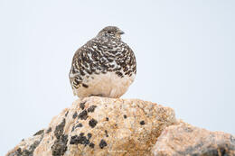 white-tailed ptarmigan, continental divide