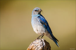 Mountain Bluebird Male Feeding