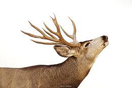 Mule Deer Flehmen