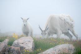 mountain goat, alpine