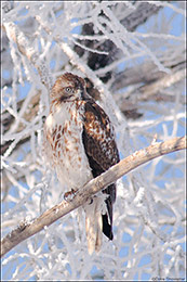 hoar frost, northern harrier, cottonwood