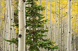 aspen forest, ohio pass, kebler pass