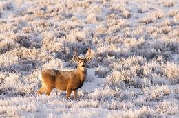 Mule Deer Buck In Frosty Sage