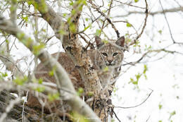 bobcat, cottonwood
