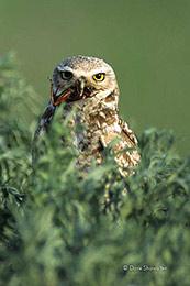 burrowing owl, Rocky Mountain Arsenal NWR