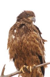 haliaeetus leucocephalus, bald eagle, front range