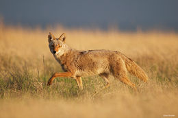 coyote, shortgrass prairie