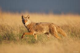 coyote, shortgrass prairie