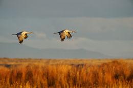 sandhill cranes, Bosque