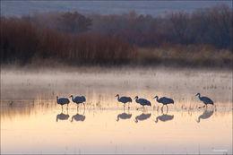 bosque del apache, sandhill cranes