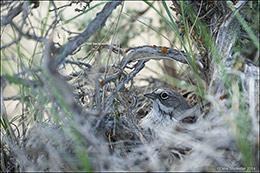 sagebrush sparrow, nestling