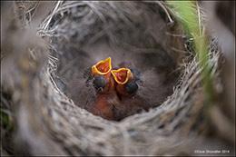 sagebrush sparrow, sagebrush obligate