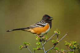 spotted towhee, sparrow