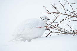 ptarmigan, timberline