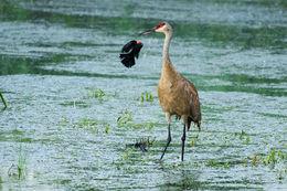 sandhill crane, yampa river