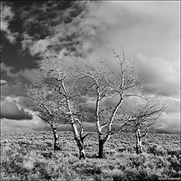 aspen, Gunnison National Forest, Colorado, sage