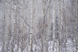 aspen, winter